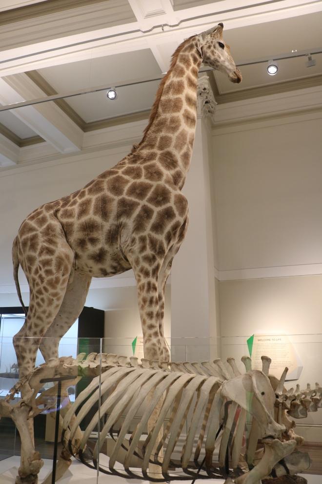 Museum Giraffe
