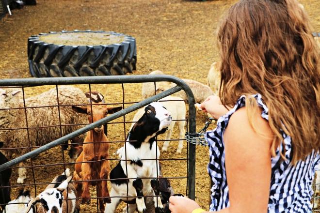 Minnie With Goats