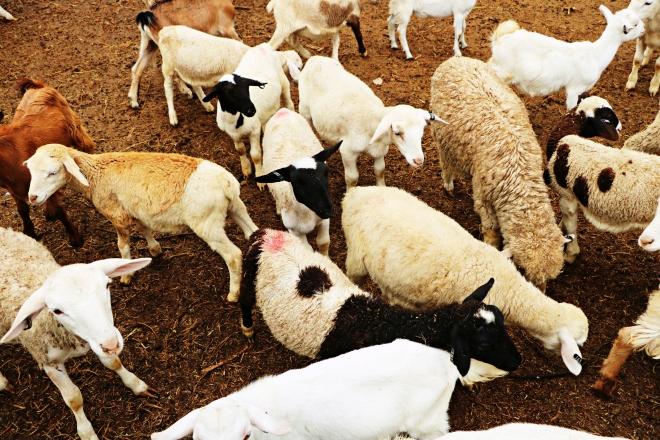 Sheep and Goats.jpg