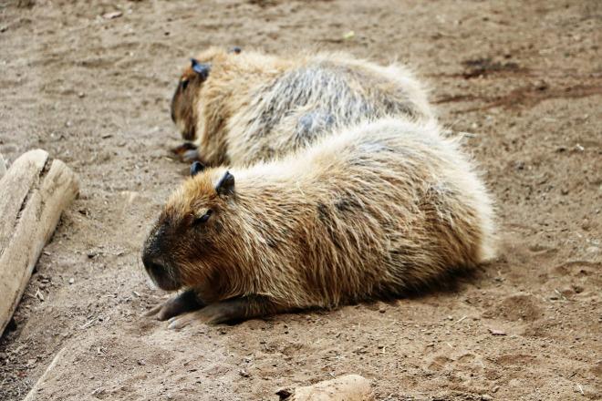 Capybara Zoo
