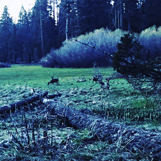 Deer at Sequoia