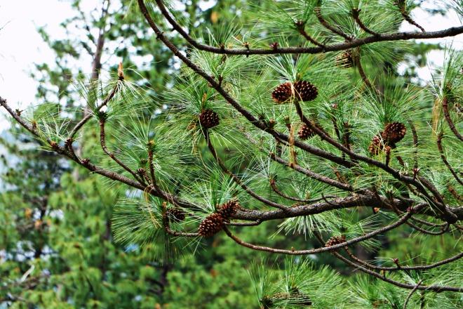 Pine Cones Yosemite