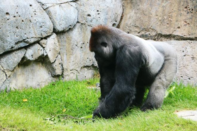 Silverback Zoo